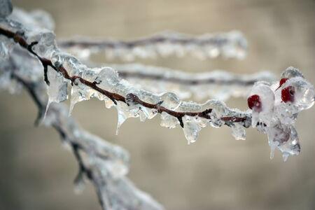 Frozen branch of mountain ash  photo