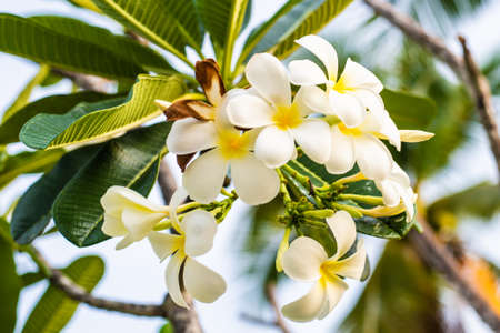 Tropical flower frangipani plumeria, Leelawadee grows on a tree