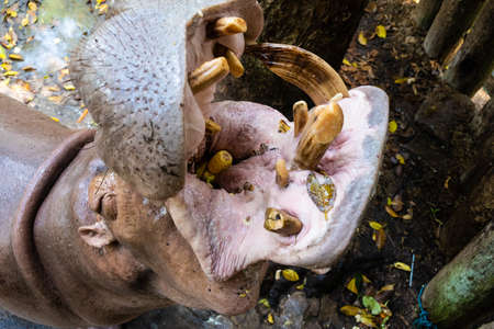 The Hippopotamus In The Zoo with opened mouth. Imagens