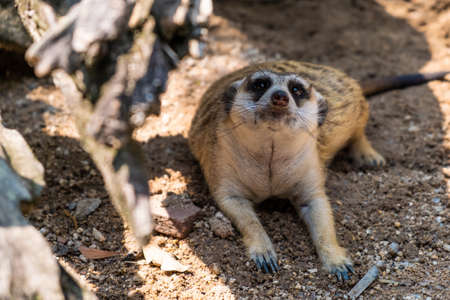 Sweet Mongoose. The concept of animals in the zoo.