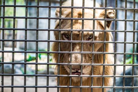 Il volto triste di un leone in gabbia, il concetto di reclusione, la beffa degli animali