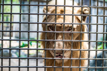 The sad face of a lion in a cage, the concept of imprisonment, animal mockery