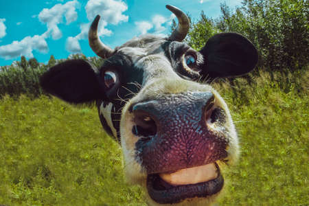 Amusing elongated face of a cow standing on the background of forest and grass. Looks into the camera lens