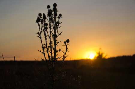 gloaming: Thistle in the sunset light on the lake