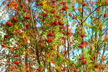 Bunches of ripe mountain ash on a tree in autumn forest Stock Photo
