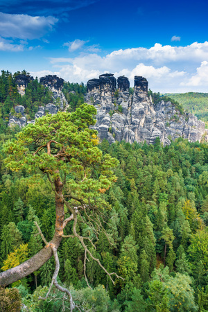 czech switzerland: Pines at the top of the sandstone mountains in Saxon Switzerland in Germany
