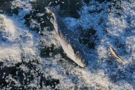 ice fishing: ice fishing, fresh fish, catch, production, fun, joy of victory