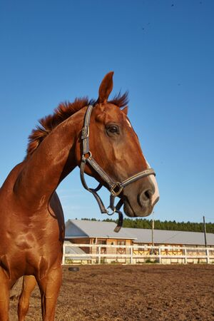animal health: handsome horse in the paddock