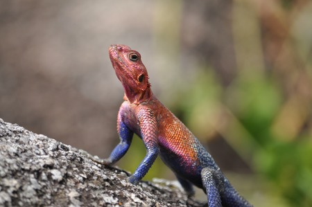 Colorful African lizard.