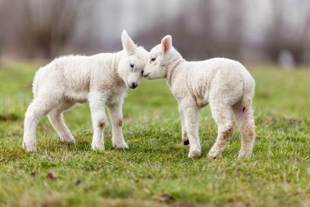 sheep Stock fotó - 24005496