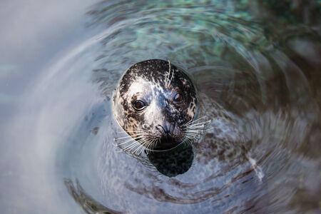 blubber: in the water  swim an seadog near