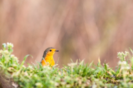 redbreast: an rEuropean Robin is looking for dangerous Stock Photo