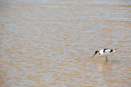 curved leg: near by water yoy find an Pied Avocet
