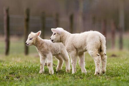 woll: an cute lamb looking at me
