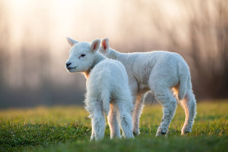 woll: they playing in the field these lambs Stock Photo