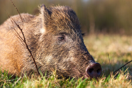 In the forest there lives wild boar photo