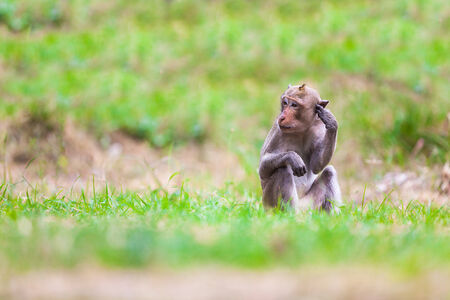 The macaque is a genus of the family of the Old World monkeys. Macaques live in Asia, India and Tibet eastward to Japan, Java, the Philippines and Celebes. photo