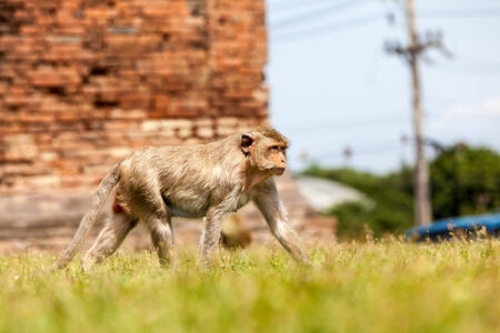 eastward: The macaque is a genus of the family of the Old World monkeys. Macaques live in Asia, India and Tibet eastward to Japan, Java, the Philippines and Celebes. Stock Photo