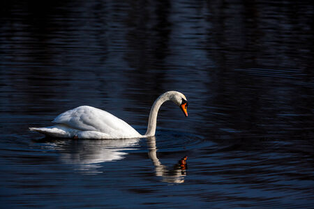 counted: Swans are the largest waterfowl from the subfamily Anserinae. All but one species in the genus Cygnus are classified. The exception is the Coscoroba Swan, belonging to the separate genus Coscoroba is counted. Stock Photo