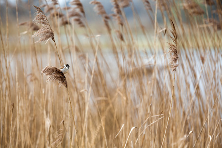 inconspicuous: The female of the reed bunting is an inconspicuous bird, with a light colored bottom with dark longitudinal stripes.  Stock Photo