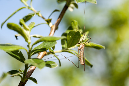 crane fly: in the tree sit an crane fly