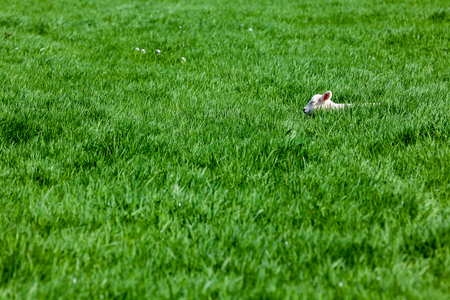 An lamb sleeping in the high grass in the field