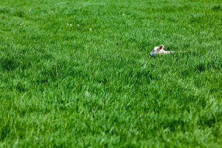 子羊の分野で高い草で眠っています。 写真素材