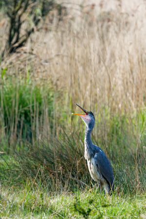 egrets: This heron is calling for a little woman heron Stock Photo