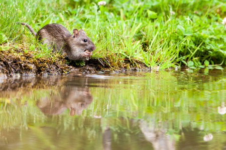 un rat eat by the water in a park of the city photo