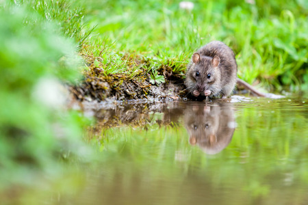 an rat drink water in the lake of the park photo