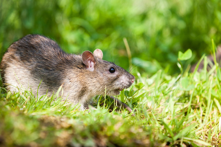 an rat eating in the grass of the park