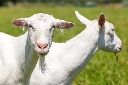 goat horns: goats play and eat on the meadow
