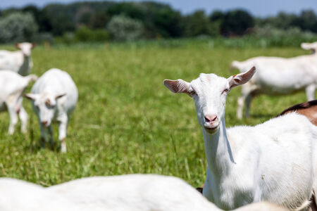 goat head: goats play and eat on the meadow