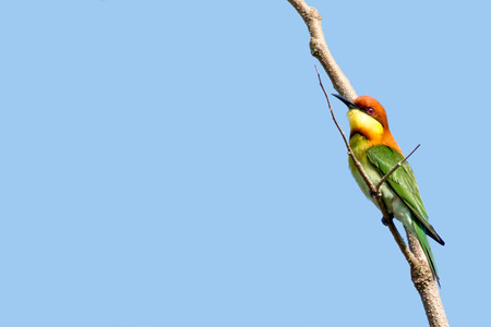 eater: this bee eater sitting on a branch and looking upwards