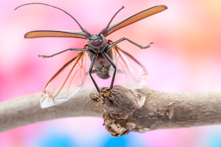 long horn beetle: flying beetle is flying on a branch of a tree with flowers in the background