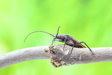 long horn beetle: flying beetle sitting on a branch of a tree