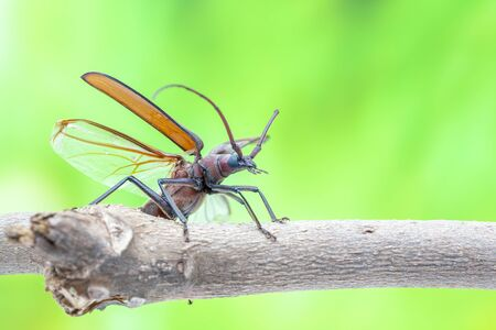 long horn beetle: flying beetle is walking on a branch of a tree