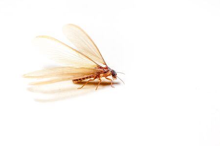 emerge: winged termites come in the evening after rainfall emerge Stock Photo
