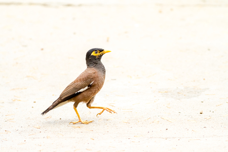 timid: timid Common myna is walking on the ground