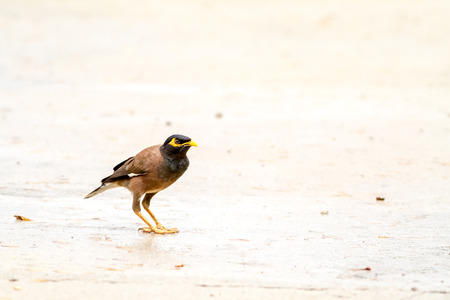 timid: timid Common myna is the termite to eat off the ground