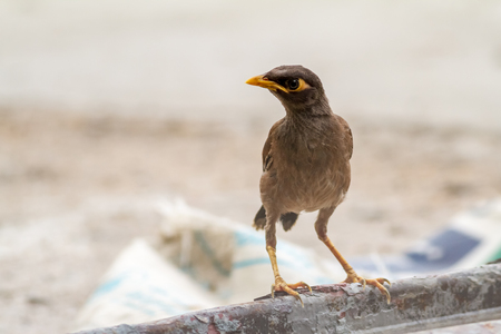 shrinking: timid Common myna is walking on the ground