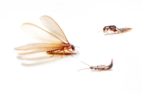 come in: winged termites come in the evening after rainfall emerge Stock Photo