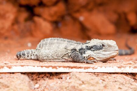 frill: between the rocks there lives a lizard Stock Photo