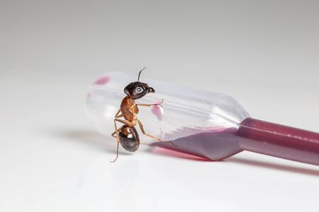 rufa: red ant formica rufa sit on an pipette whit cuberdon sauce
