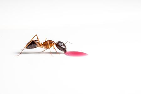rufa: red ant formica rufa drinking an drop of cuberdon sauce