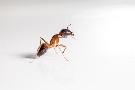 hormiga: rojo hormiga formica rufa en el fondo blanco