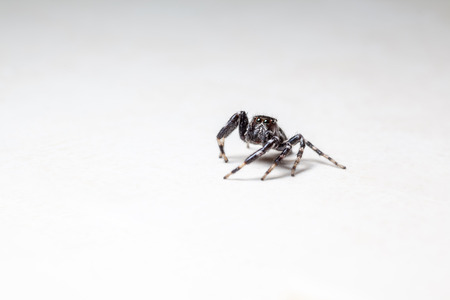 spider: on the kitchen floor there is a Jumping spider