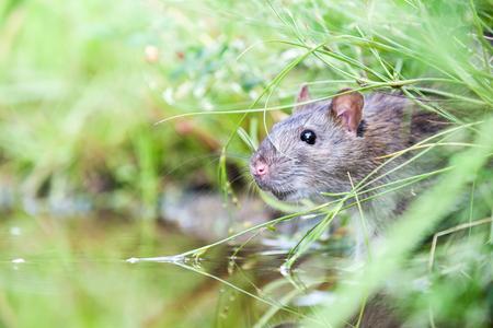 야생 쥐 잔디에서 물의 국경에서 마시는입니다. 스톡 콘텐츠