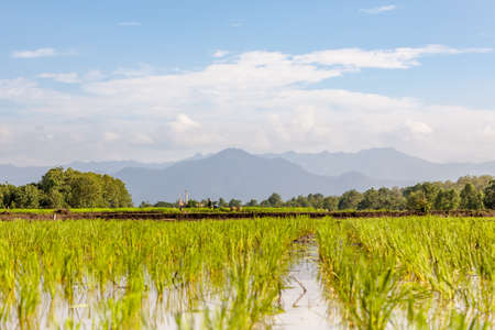 agricultura: paisaje en los campos de arroz pizca mountens en el fondo Foto de archivo