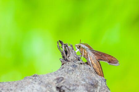 deilephila: an Giant Arum hawk moth on an black polish title Stock Photo